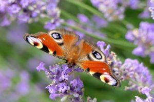 https://pixabay.com/fr/paon-du-jour-papillon-fermer-nature-3482707/